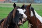 Crazy_Horses
